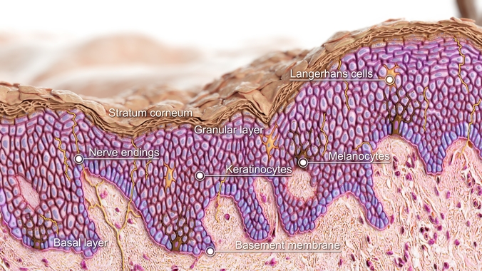 Epidermis under microscope